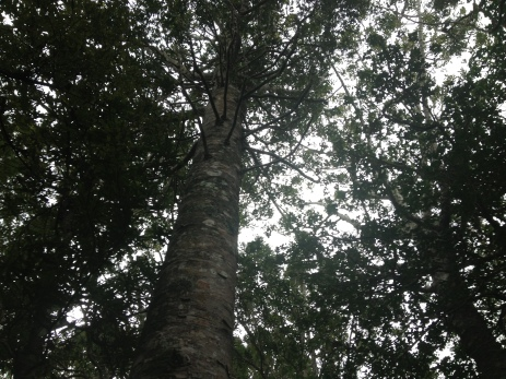 Regenerating coastal kauri forest