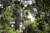 King of the bush... the Kauri
