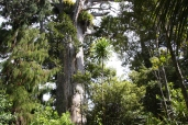 King of the bush... the Kauri